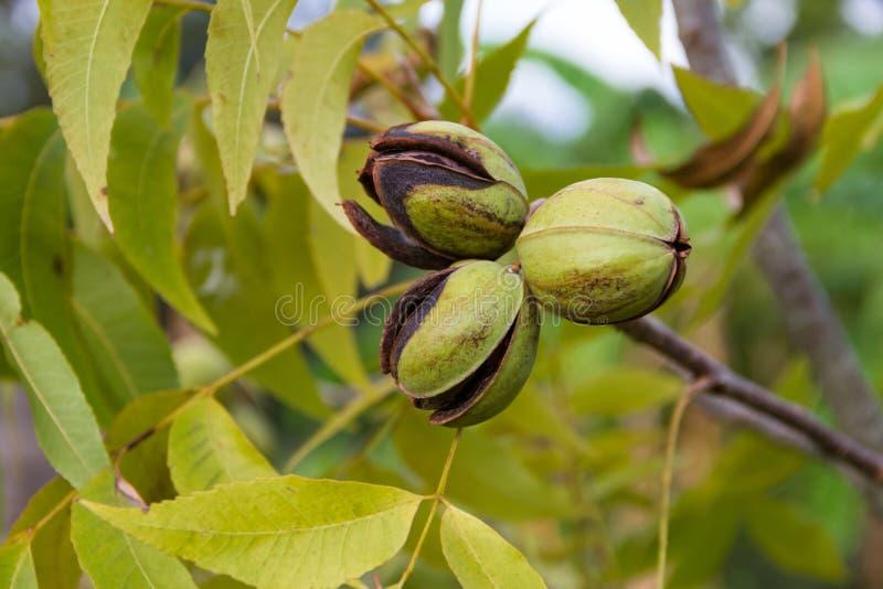 Pecannötmuttrar som är fullvuxna i den organiska trädgården royaltyfri bild