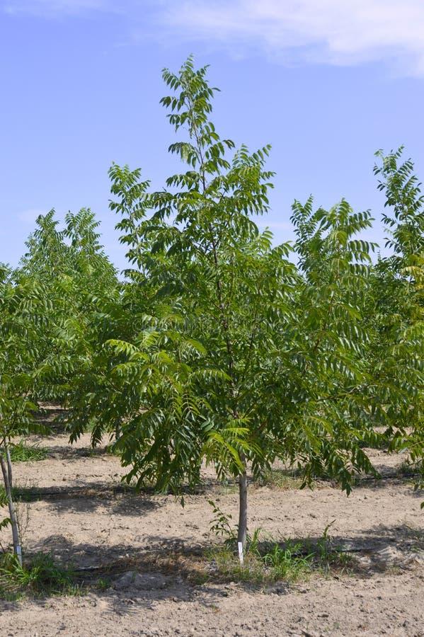 Pecannootboom royalty-vrije stock afbeelding