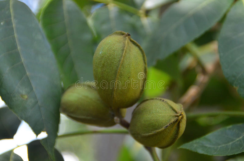 Pecans growing on a pecan tree. New pecans ripening on a tree royalty free stock photo