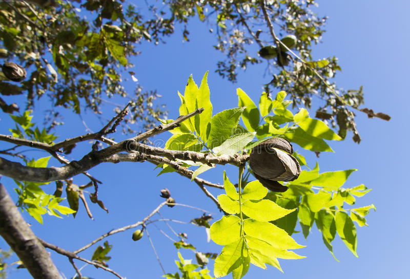 Download Pecans On A Tree Branch With Leaves Stock Image - Image: 27683357