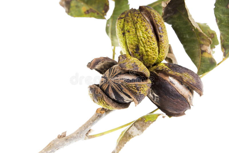 Pecans On A Tree Branch With Leaves Stock Photos
