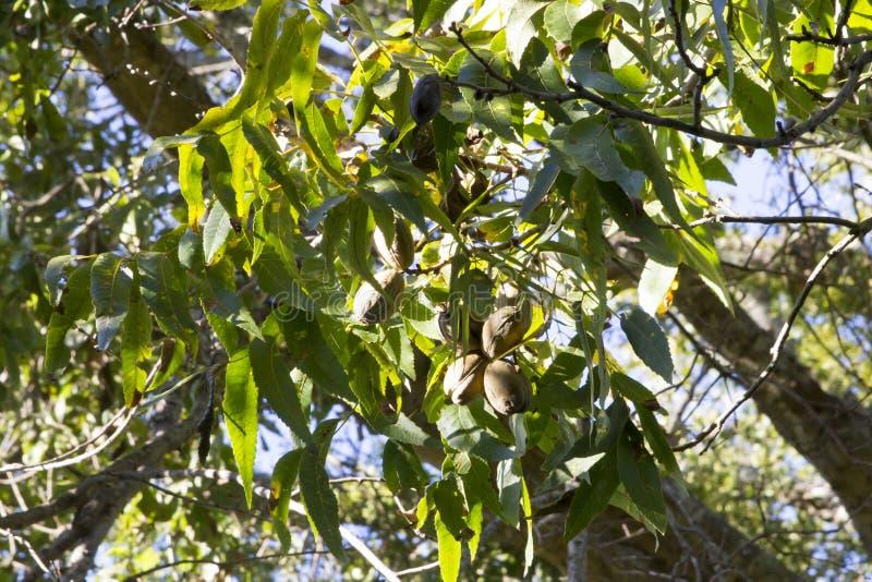 Pecans on tree. Ripe pecan growing on tree branch against blue skies stock photo