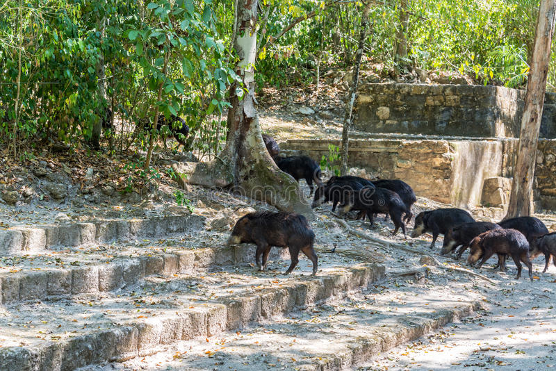 Peccaries and Mayan Ruins royalty free stock images