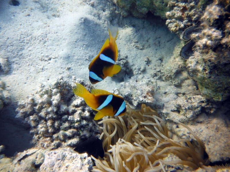 Peces de mar coloridos coralinos imagen de archivo libre de regalías