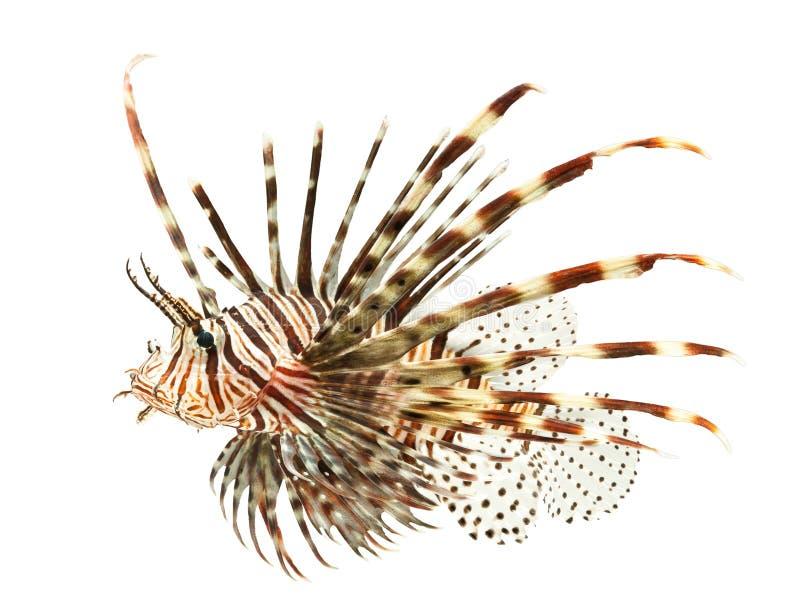Peces marinos, pescados del león aislados en el backgroun blanco imágenes de archivo libres de regalías