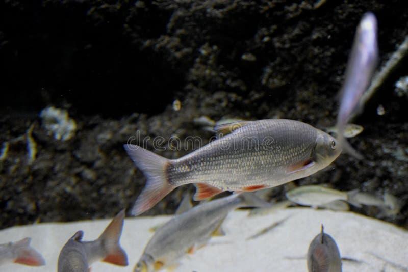 Peces nadando en el acuario imágenes de archivo libres de regalías