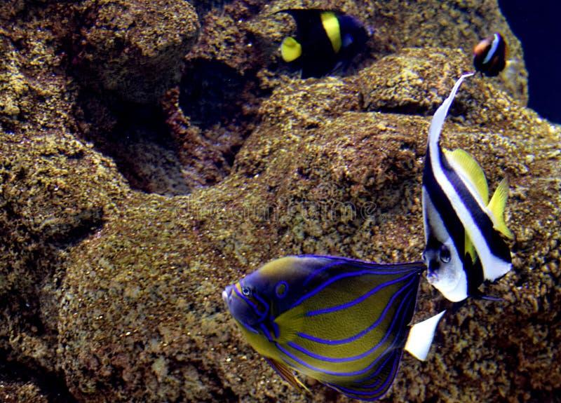 Peces tropicales coloridos nadando en el acuario foto de archivo