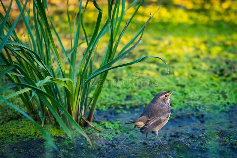 Pechiazul o Luscinia Svecica en naturaleza salvaje imagen de archivo libre de regalías