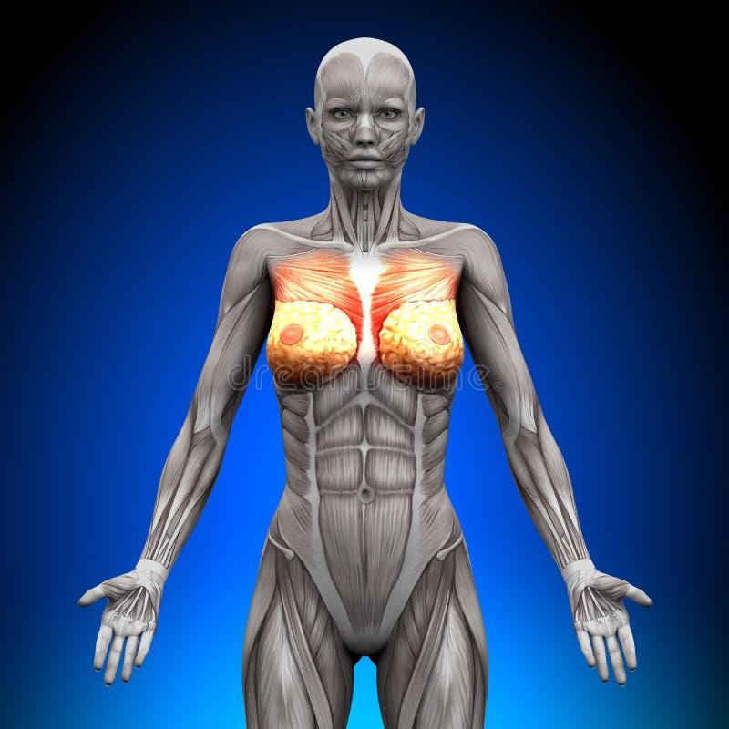 Pechos - músculos femeninos de la anatomía ilustración del vector