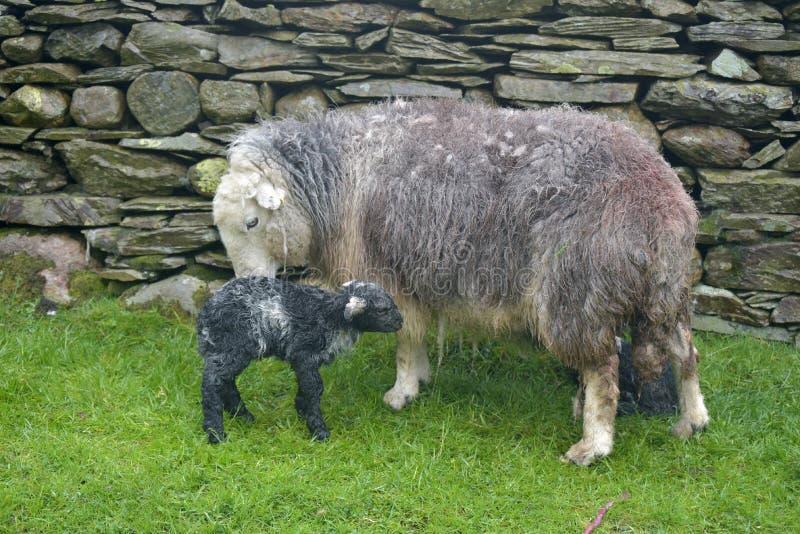 Pecora ed agnello neonato, Coniston immagini stock libere da diritti