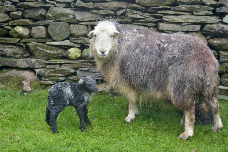 Pecora ed agnello neonato, Coniston fotografie stock