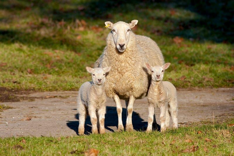 Pecora vigile della madre con due agnelli fotografie stock