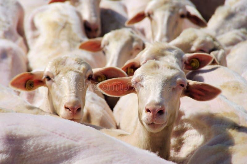 Pecore immagini stock