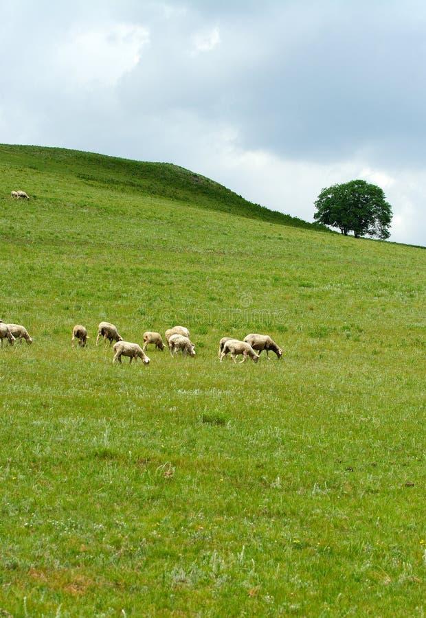 Download Pecore fotografia stock. Immagine di china, asiatico, bello - 3876890