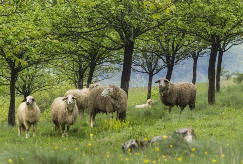 Pecore ad un pascolo immagini stock libere da diritti