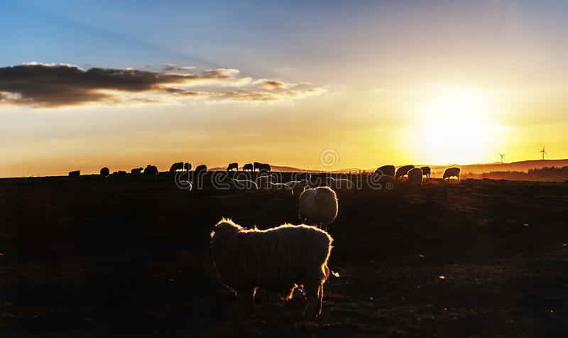 Pecore al tramonto fotografie stock libere da diritti