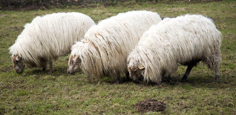 Pecore alla conclusione dell'orario invernale immagini stock libere da diritti
