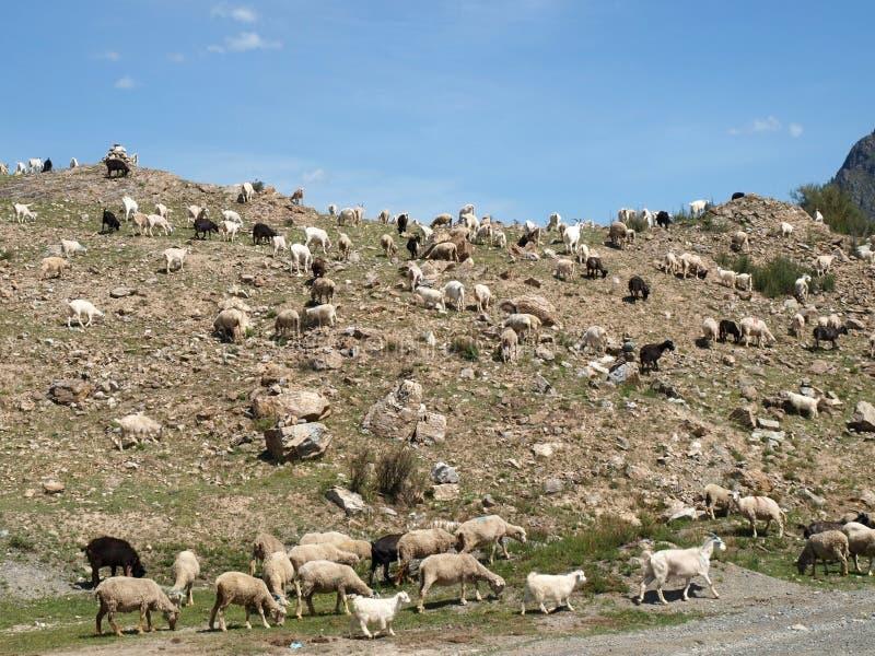 Pecore alle montagne di Altai fotografia stock