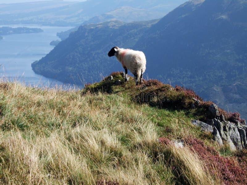 Pecore & Ullswater fotografie stock