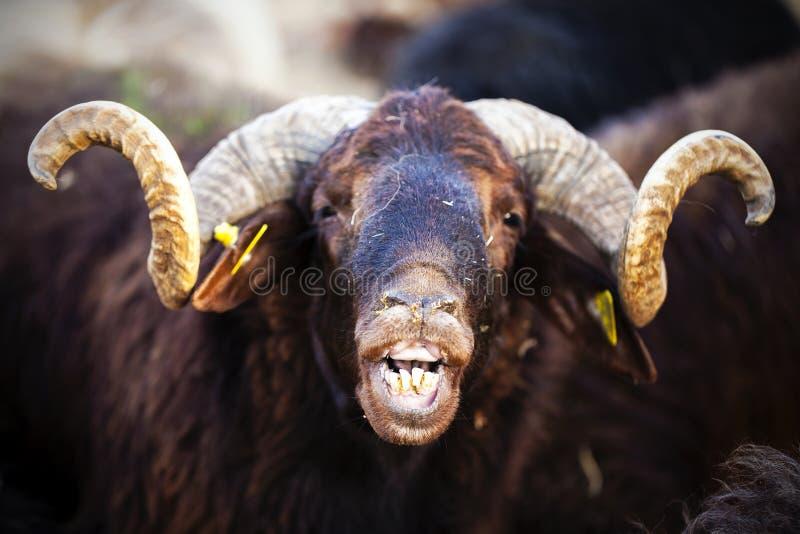 Pecore animali fotografia stock