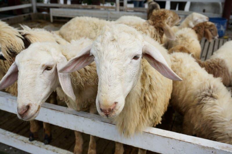 Pecore bianche fotografie stock