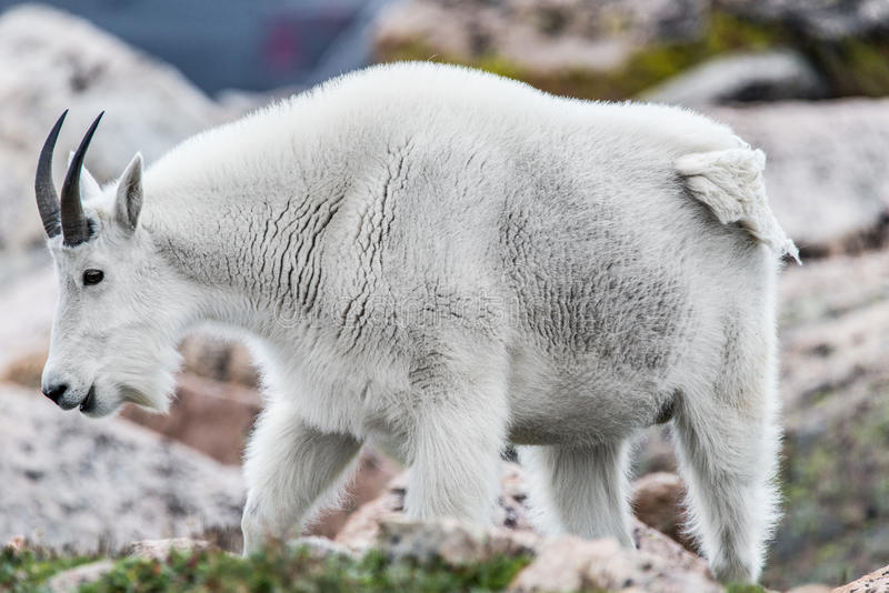 Pecore bianche del Big Horn - Rocky Mountain Goat immagine stock