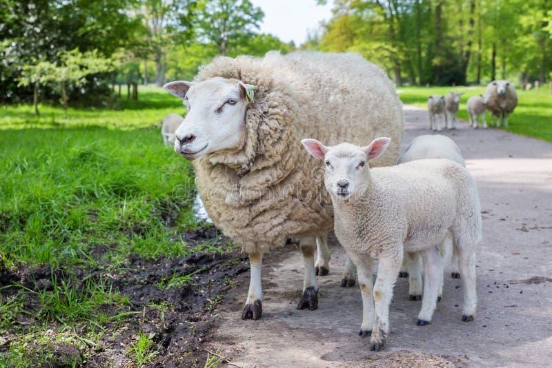 Pecore bianche ed agnello della madre che stanno sulla strada fotografie stock