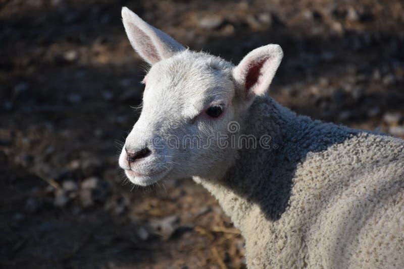 Pecore bianche sveglie di Cheviot in North Yorkshire Inghilterra immagini stock libere da diritti