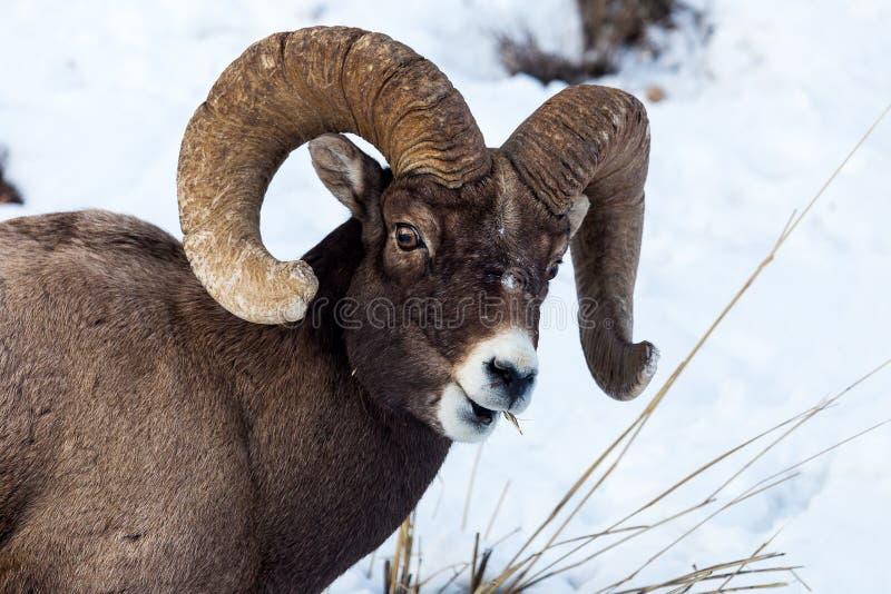 Pecore Bighorn immagine stock