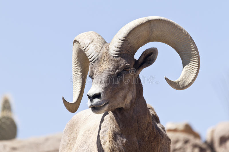 Pecore Bighorn in Arizona immagine stock