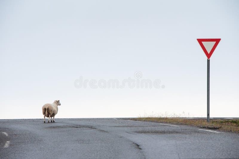 Pecore che aspettano il suo giro per attraversare la strada fotografia stock