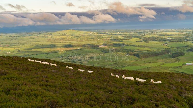 Pecore che camminano nella riga immagini stock