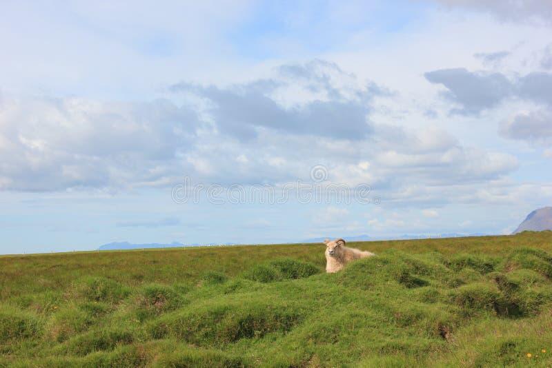Pecore che camminano su un prato che vi esamina immagini stock libere da diritti