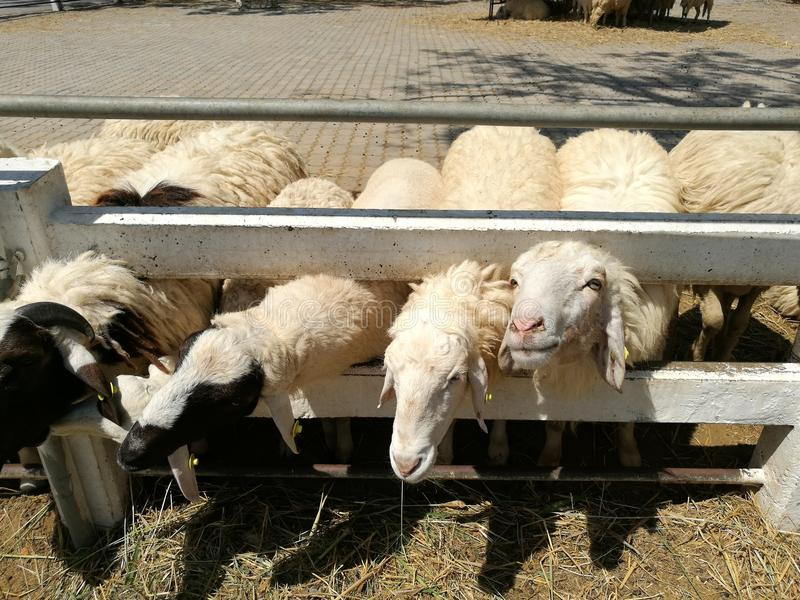 Pecore che mangiano erba immagine stock