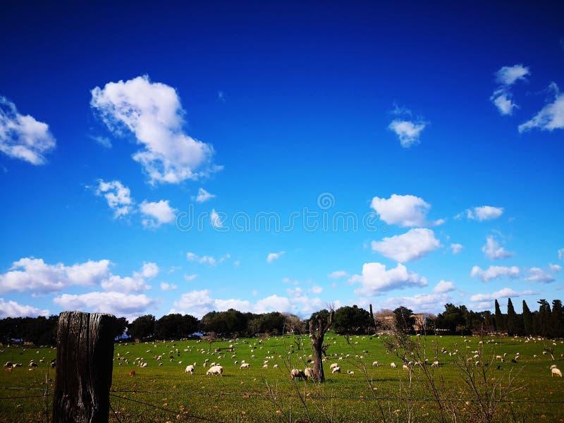 Pecore che mangiano erba da Mallorca immagine stock