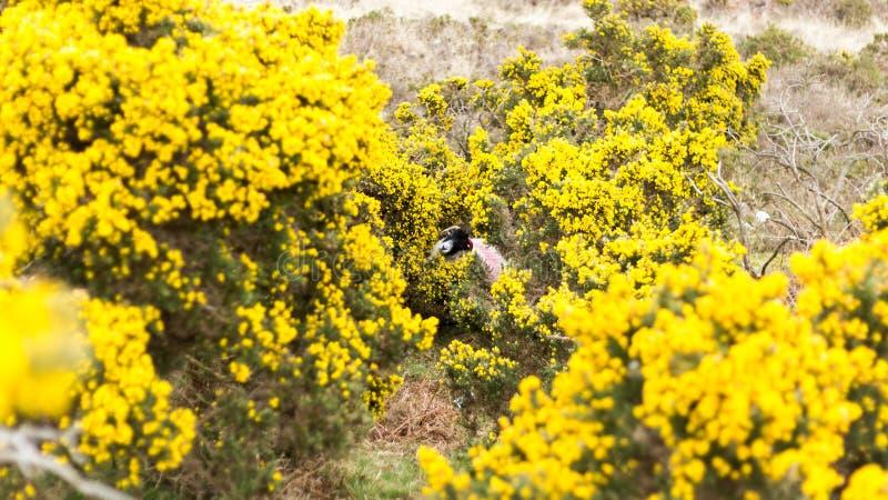 Pecore che mangiano i fiori da qualche parte nell'altopiano in Irlanda fotografie stock