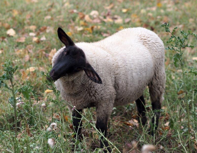 Pecore che mangiano pianta nel campo fotografia stock