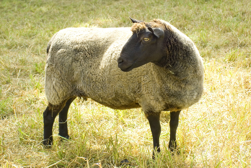 Pecore che osservano a sinistra immagine stock libera da diritti