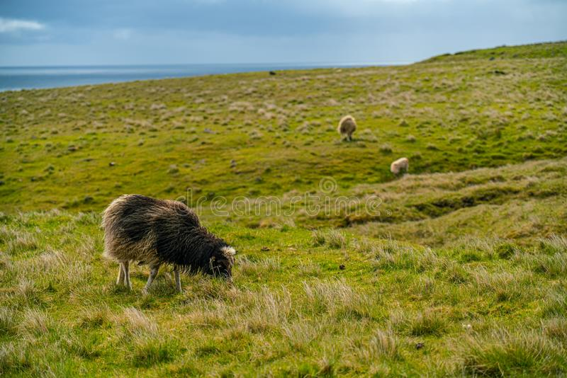 Pecore che pascolano erba in Eysturoy fotografie stock libere da diritti