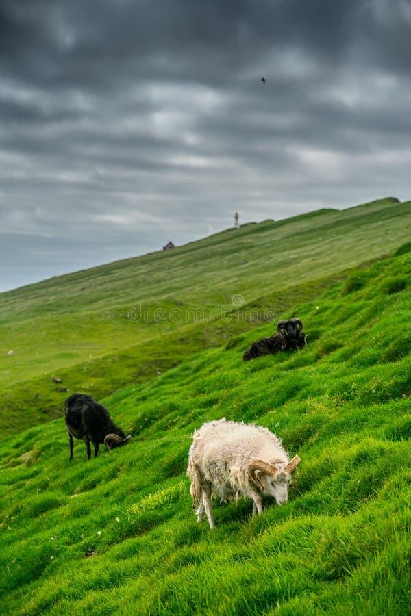 Pecore che pascolano erba in Mykines immagini stock libere da diritti