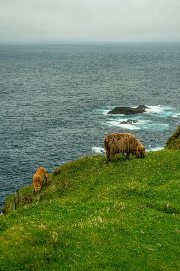 Pecore che pascolano erba in Mykines immagine stock