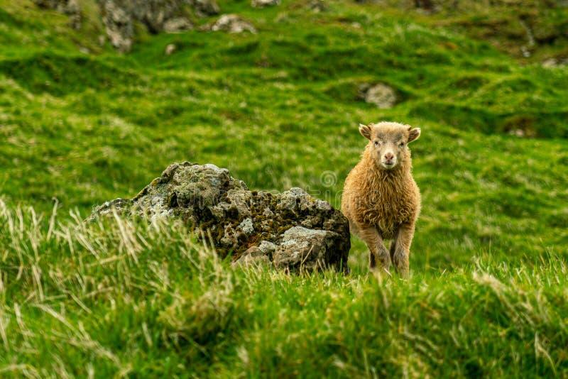 Pecore che pascolano erba in Mykines immagine stock libera da diritti