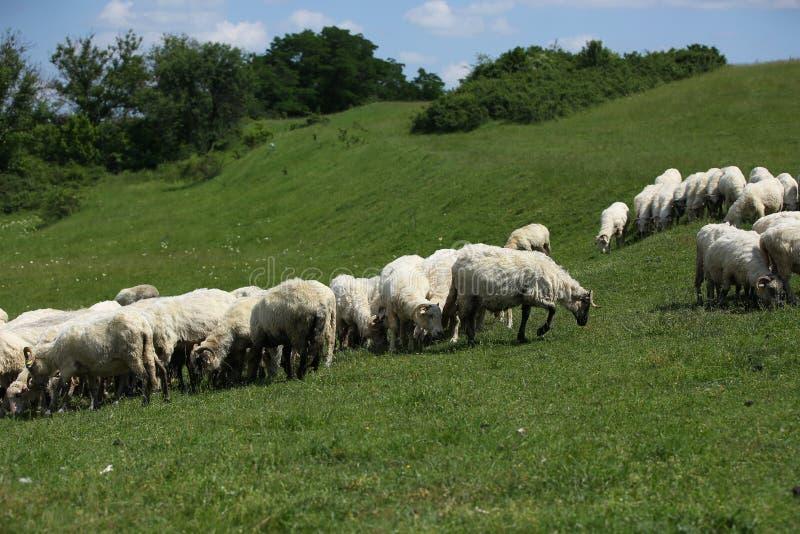Pecore che pascono immagini stock