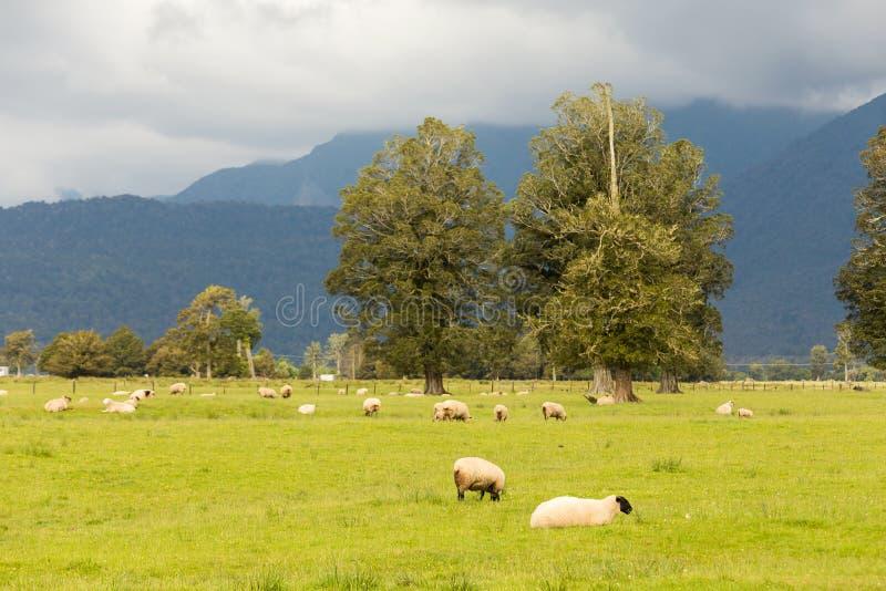 Pecore che pascono con il prato verde fotografia stock