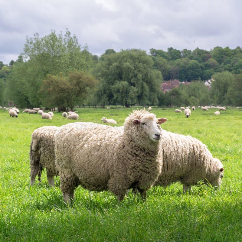 Pecore che pascono nel medow accanto alla cattedrale di Salisbury immagine stock