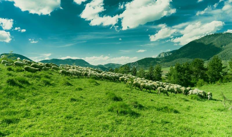 Pecore che pascono su un prato verde durante il giorno soleggiato immagine stock