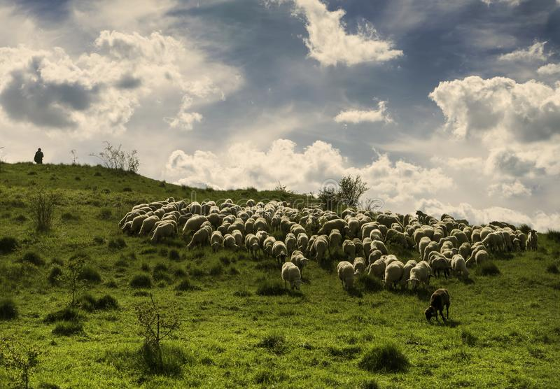 Pecore che pascono su un prato verde durante il giorno soleggiato immagini stock