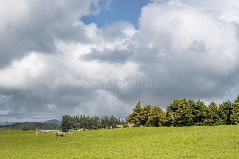 Pecore che pascono su un prato verde sotto i cieli nuvolosi immagine stock