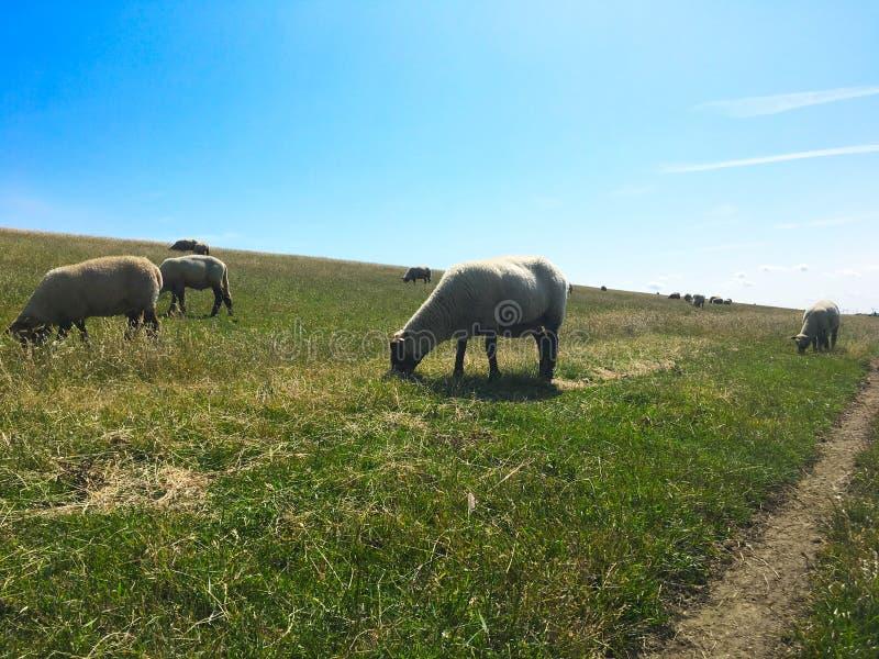 Pecore che pascono su una diga in Frisia orientale Ostfriesland, Germania, sulla riva del Mare del Nord immagini stock libere da diritti