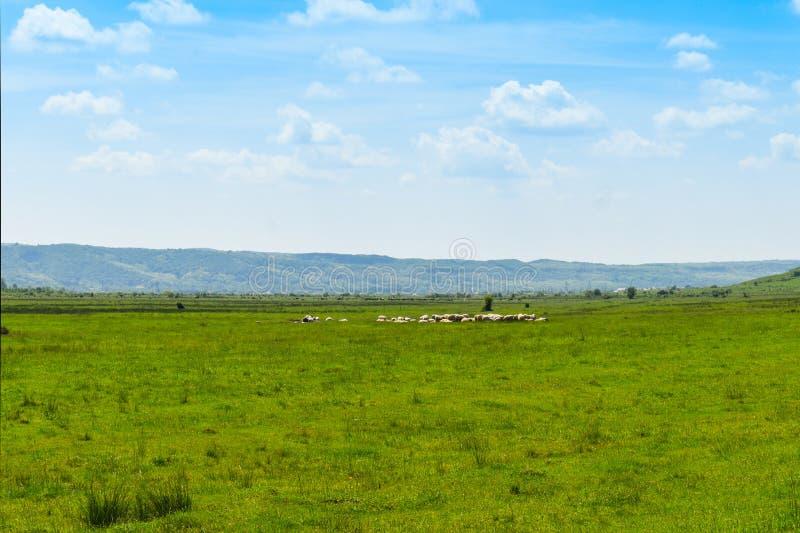 Pecore che pascono sul pascolo verde nella grande valle in un giorno di estate soleggiato con cielo blu luminoso fotografia stock